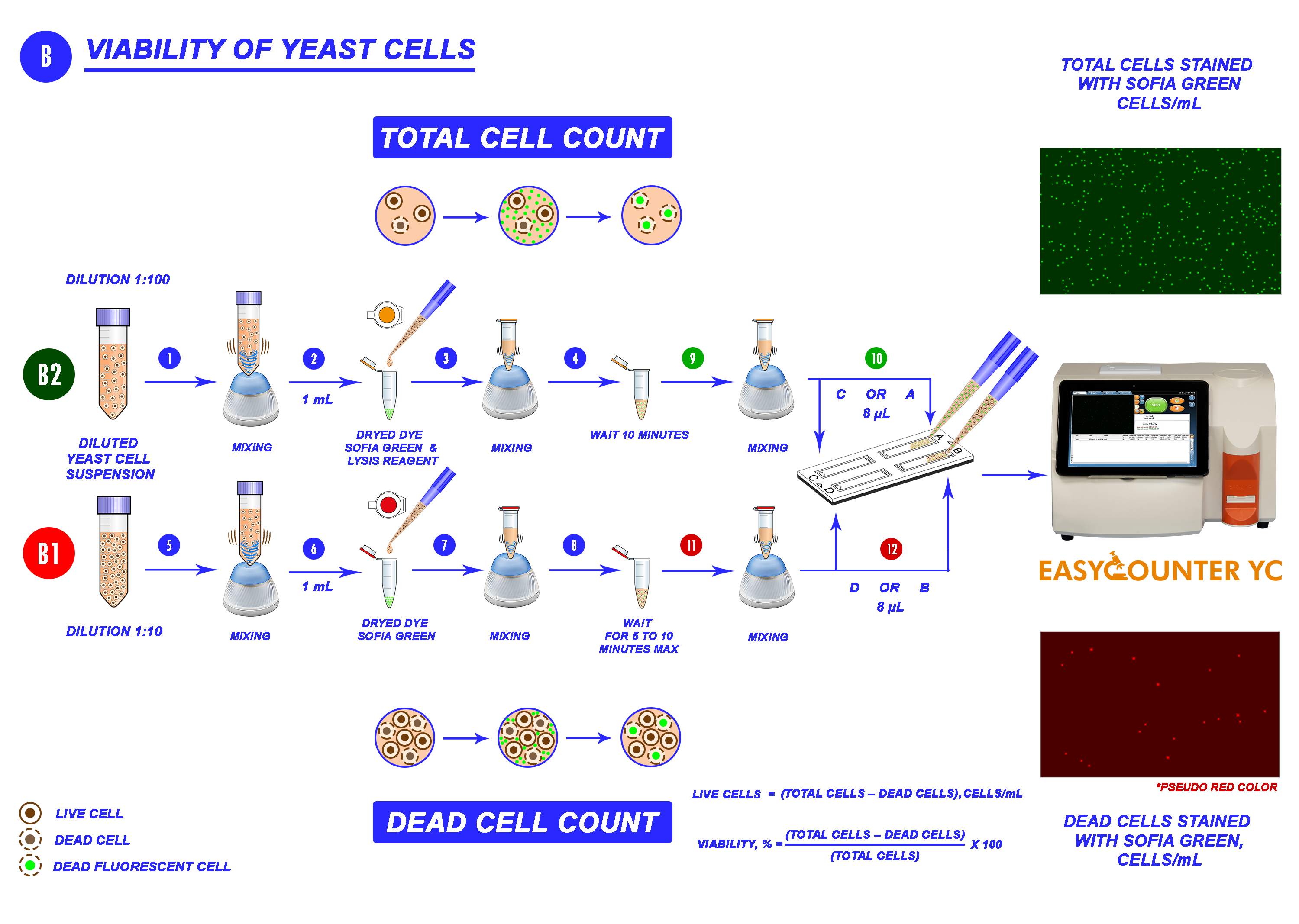 Viability of yeast cells